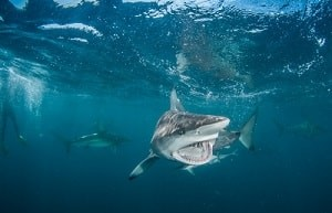 A shark shows off it's teeth